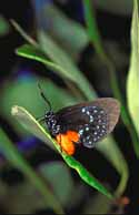 Florida Atala Butterfly